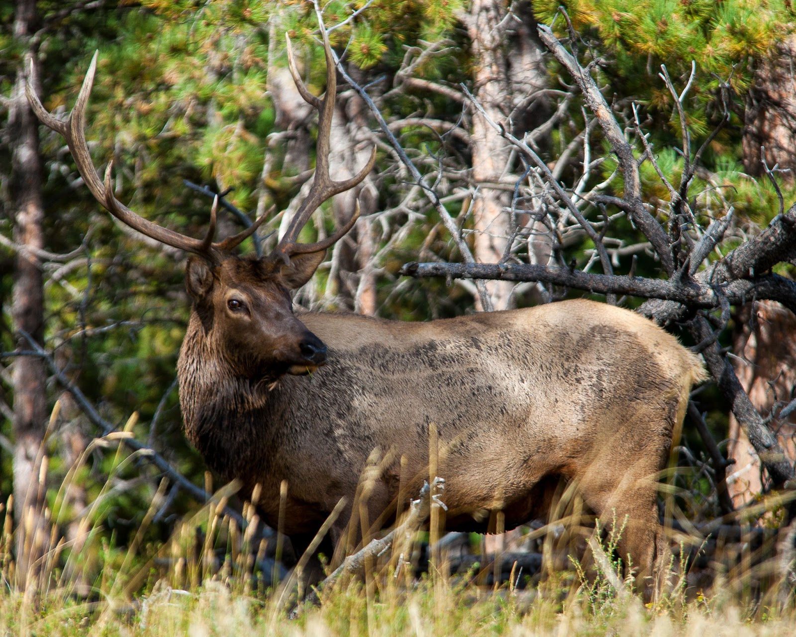 Rocky Mountain National Park Elk Rut