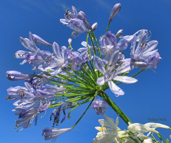 My petal press garden blog late summer blooming perennial flowers this is scabiosa fama also called pincushion flower zones 4 10 on the left one of my favorite late summer bloomers below is agapanthus africanus also mightylinksfo