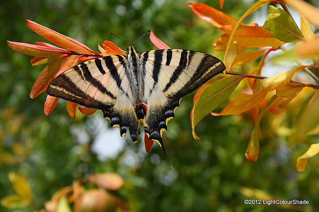 Scarce Swallowtail (Iphiclides podalirius)on a pomegranate twig