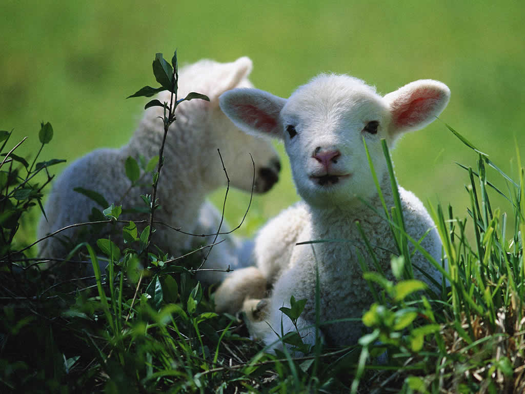 white lambs, laying in grass