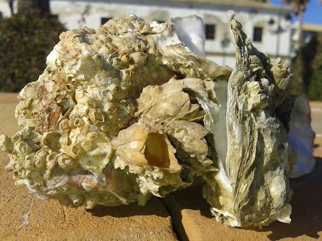 Roca ostionera
