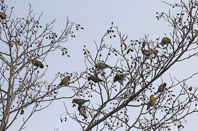 Flock of Eurasian Siskins (Carduelis spinus)