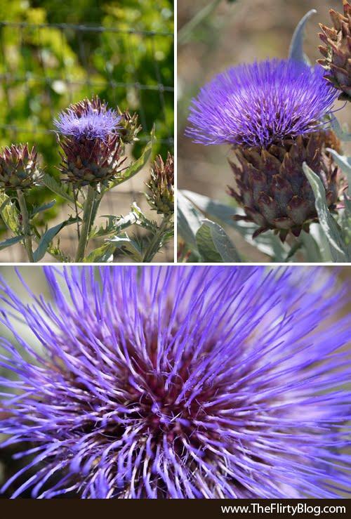 Artichoke, Flowers, Baker Ridge