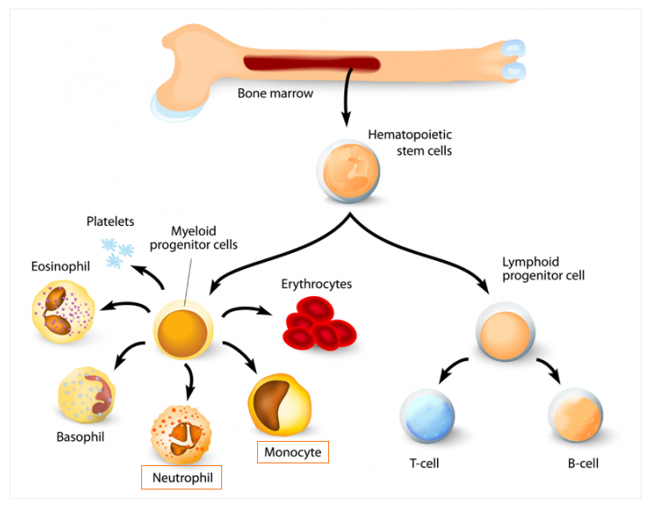 # 58 The immune system - Phagocytes | Biology Notes for A ...
