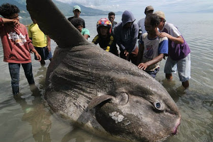 Nelayan Palu Temukan Ikan Matahari Seberat 1,5 Ton