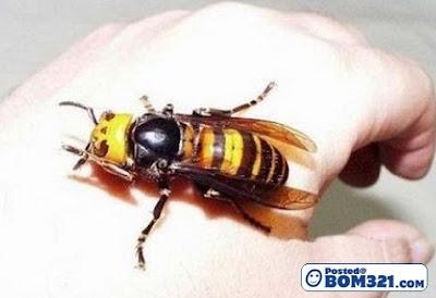 Serangga-Serangga Bersaiz Besar