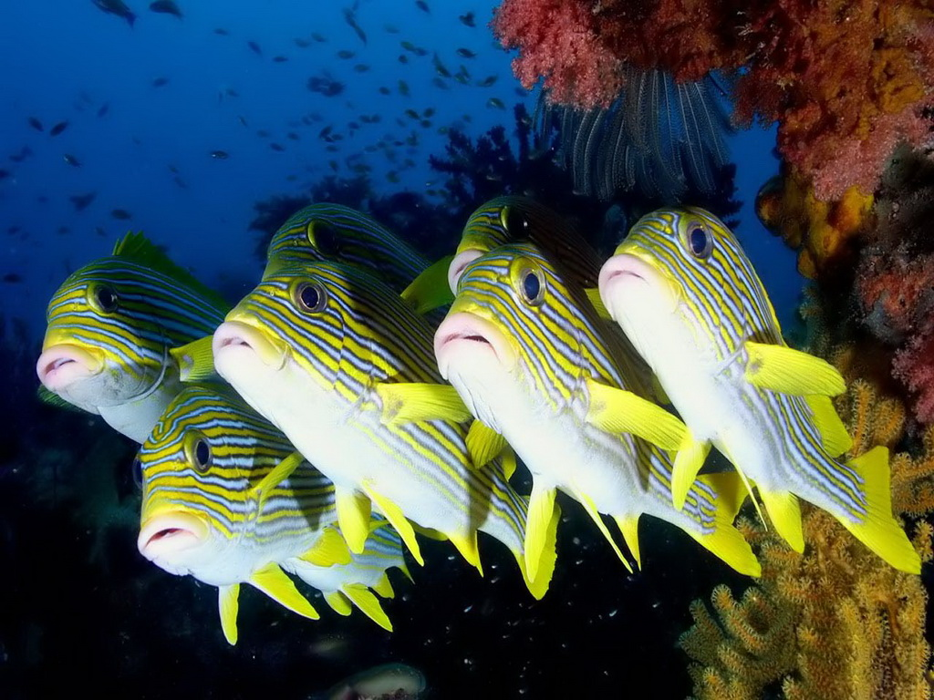 http://1.bp.blogspot.com/-9EG9NJ7AG3Y/Tbgei2ewyII/AAAAAAAAERc/nITqbNxoRzQ/s1600/Striped_sweetlips_Coral_reef_fish.jpg