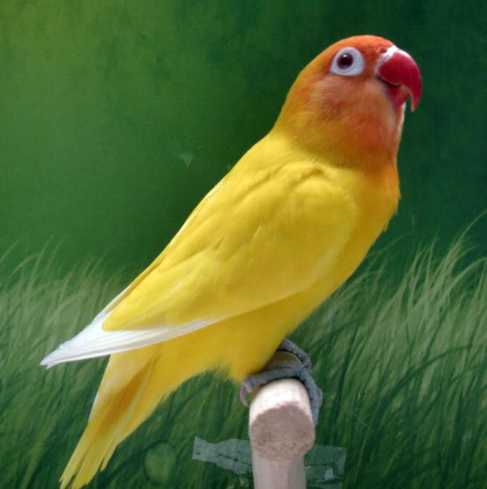 mengenal burung love birdsaung bird burung kicauan
