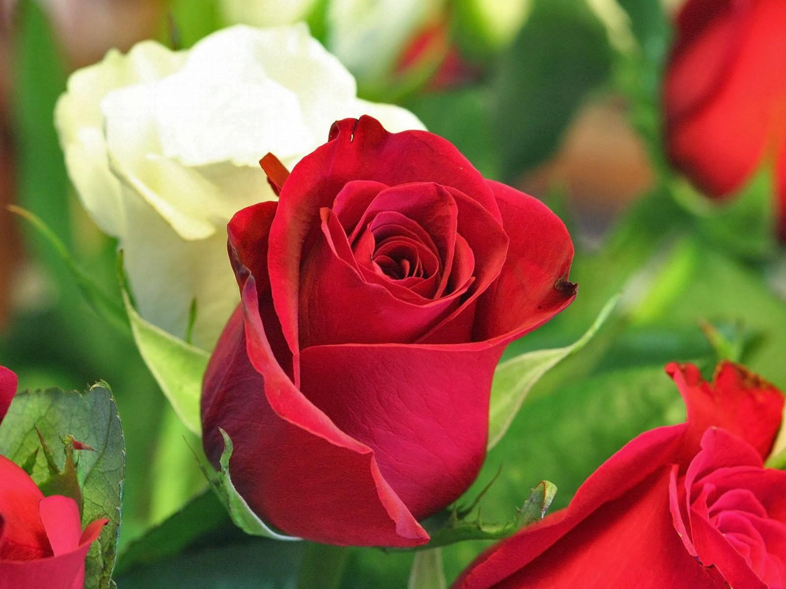 top roses flowers happy - photo #1