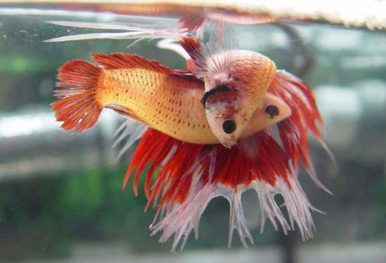 Acuarios peces cuidados tips y acuarofilia for Cuidado de peces
