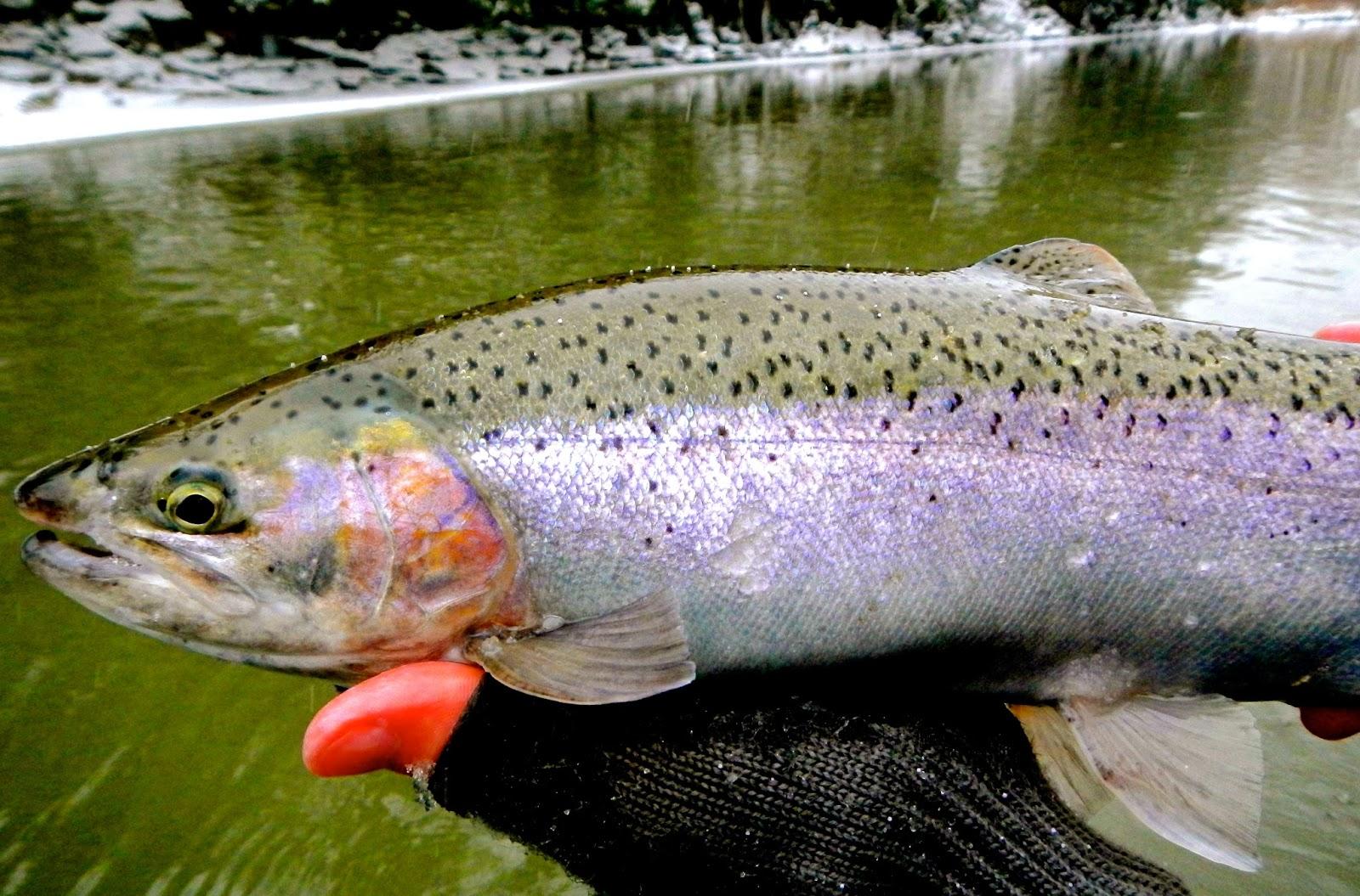 D h lake erie steelhead fishing report 12 27 13 for Erie steelhead fishing report