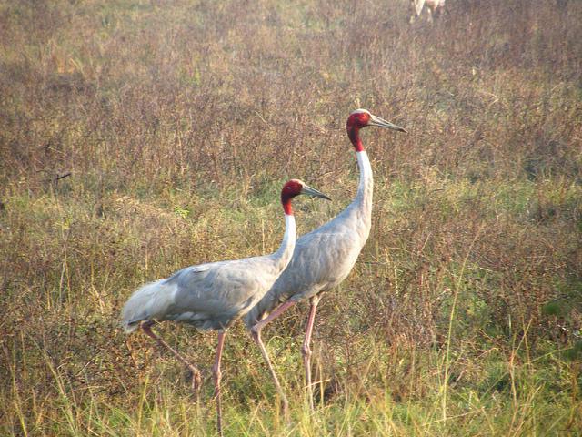 sarus-cranes