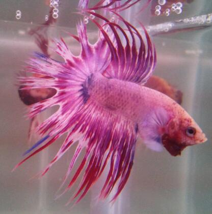 Bettamarket beautiful betta fish for Betta fish sale
