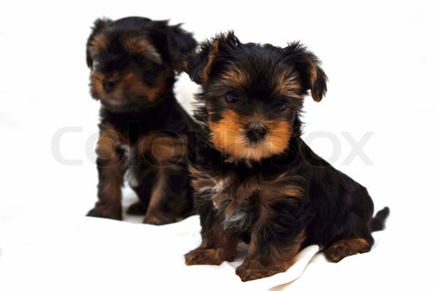 Cute Puppy Dogs White Yorkshire Terrier Puppies