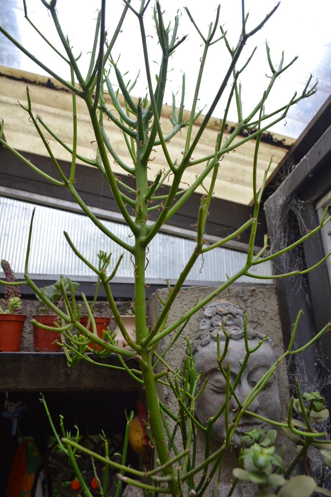 Crasas, formas extrañas: Euphorbia Tirucalli. Tóxica