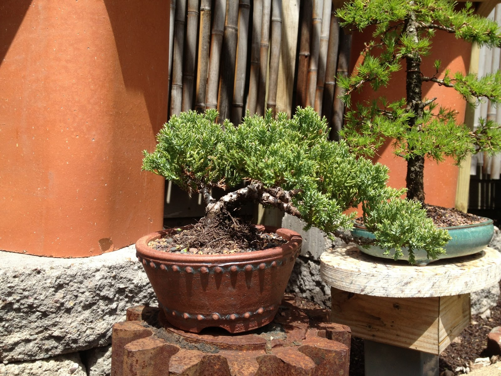 Japanese Garden Juniper QuotProcumbens Nana TGT Bonsai