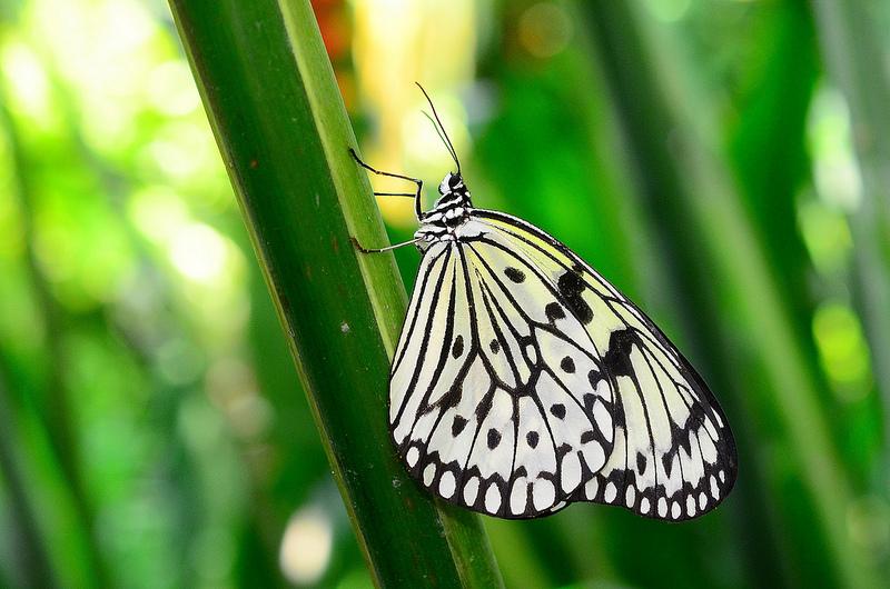Alexander zulkarnain black and white paper kite butterfly for White paper butterflies