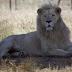 «Θαύμα των Χριστουγέννων»: Ένα στειρωμένο λιοντάρι έγινε πατέρας τριών λευκών λιονταριών