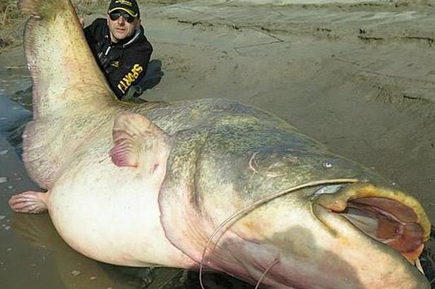'Quái vật' cá trê khổng lồ mắc lưới ngư dân