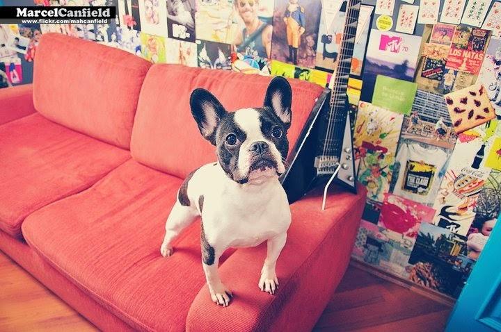Bulldog Francês Martina Bianco