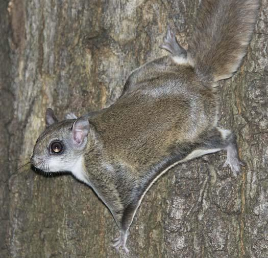 Flying Squirrel | Animal Wildlife