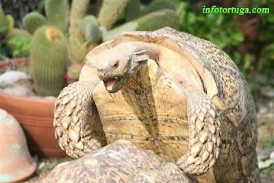Stigmochelys pardalis somalica