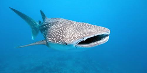 Os 10 maiores tubarões do mundo