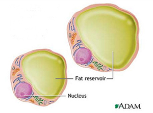 Adipose cells (adipocytes)