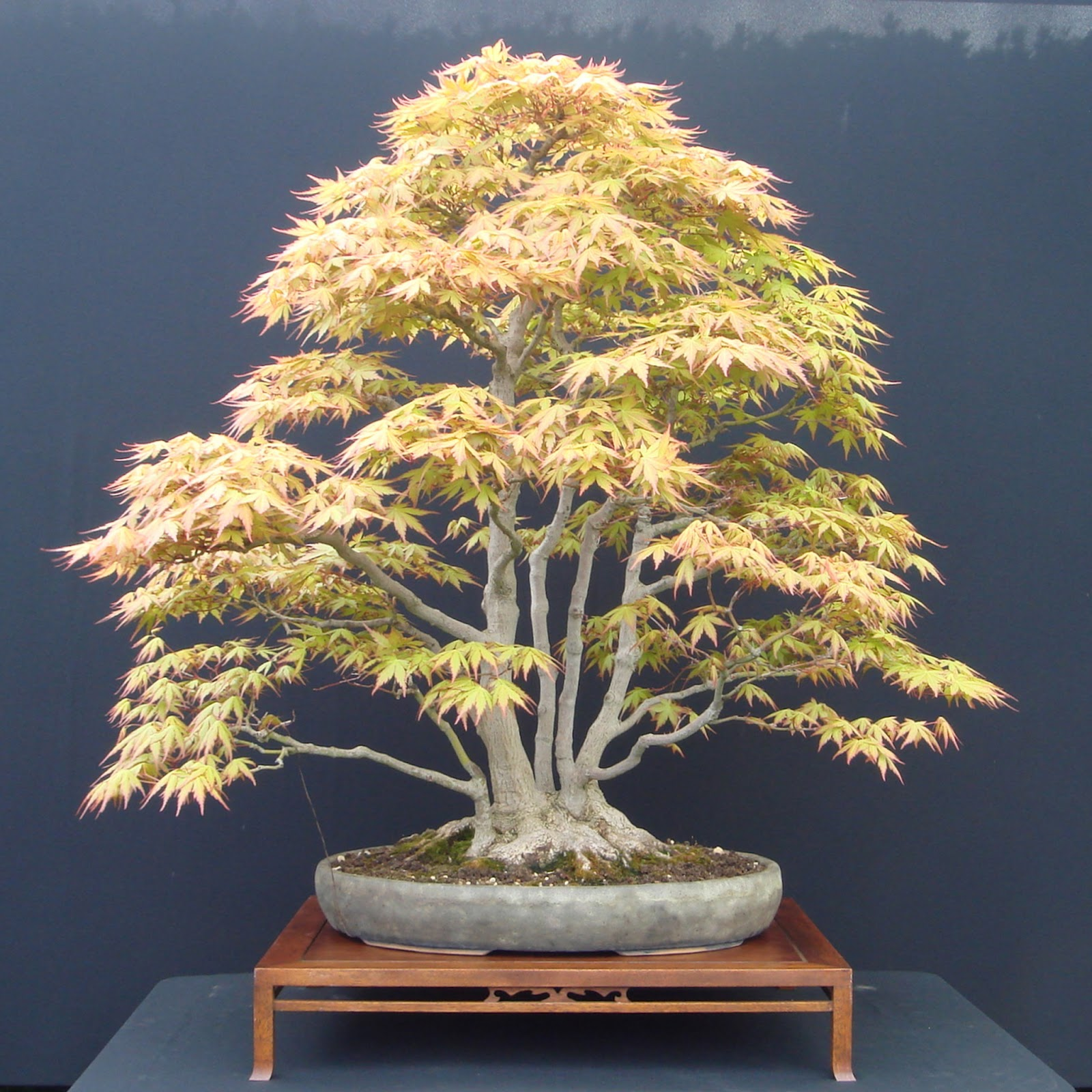 PlantWerkz Japanese Maple Acer Palmatum