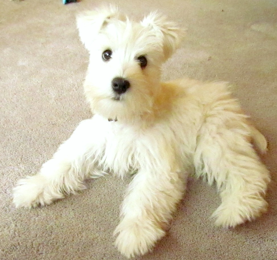 Go Back > Gallery For > Hypoallergenic Puppies
