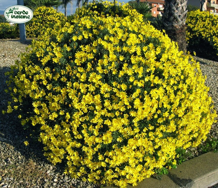 Euryops Pectinatus è Unu0027 Asteracea Di Origine Sud Africana Che Forma Un Arbusto  Sempreverde Dalle Caratteristiche Foglie Fortemente Pennate, Da Cui Il Nome  ...