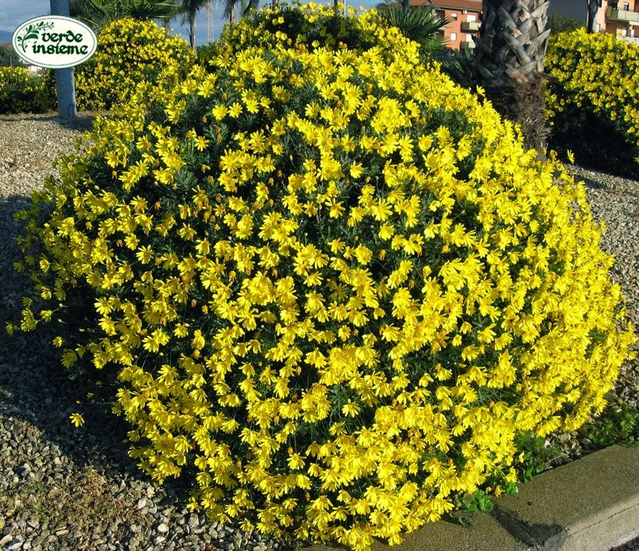 Euryops giallo d 39 autunno - Arbusti sempreverdi da giardino ...