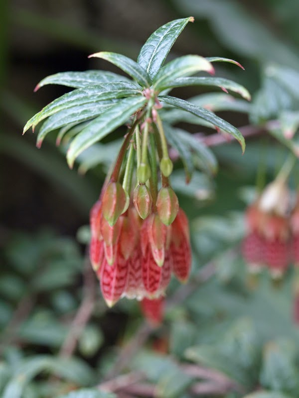 Stripy Bleeding Heart Flowers
