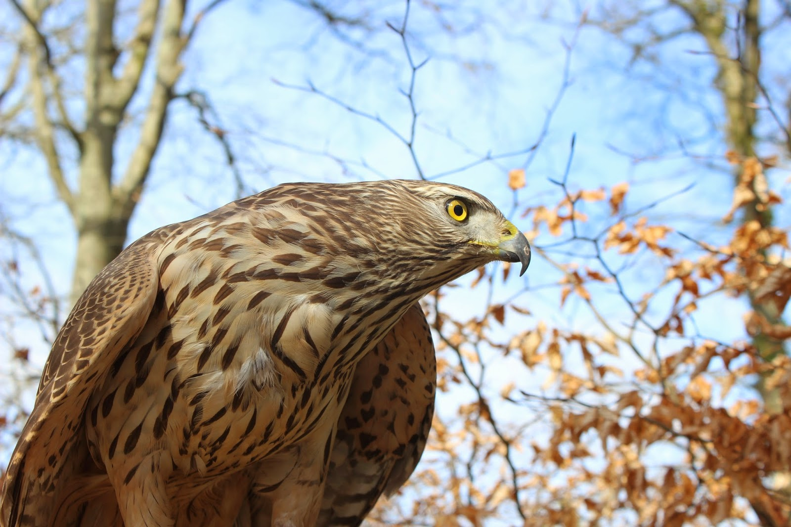 Live webcam of Goshawk nesting in the New Forest