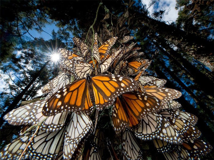 La Reserva de la Biosfera de la Mariposa Monarca
