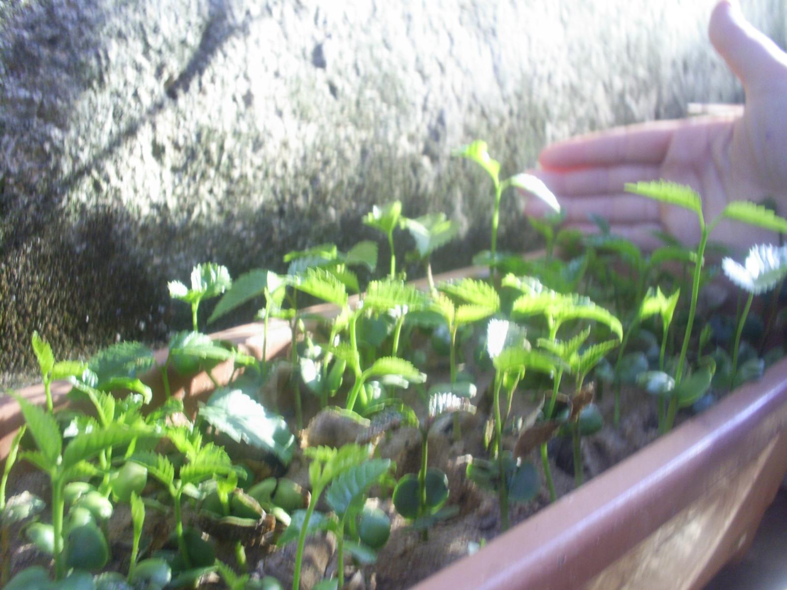 Como Plantar Sementes de Ipês Rosa,Roxo,Amarelo,Etc. 10
