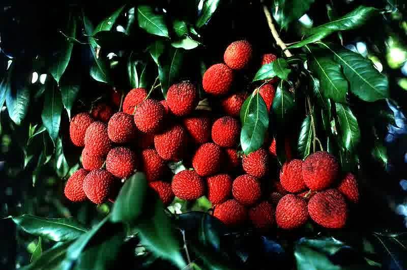 manfaat buah leci bagi ibu hamil