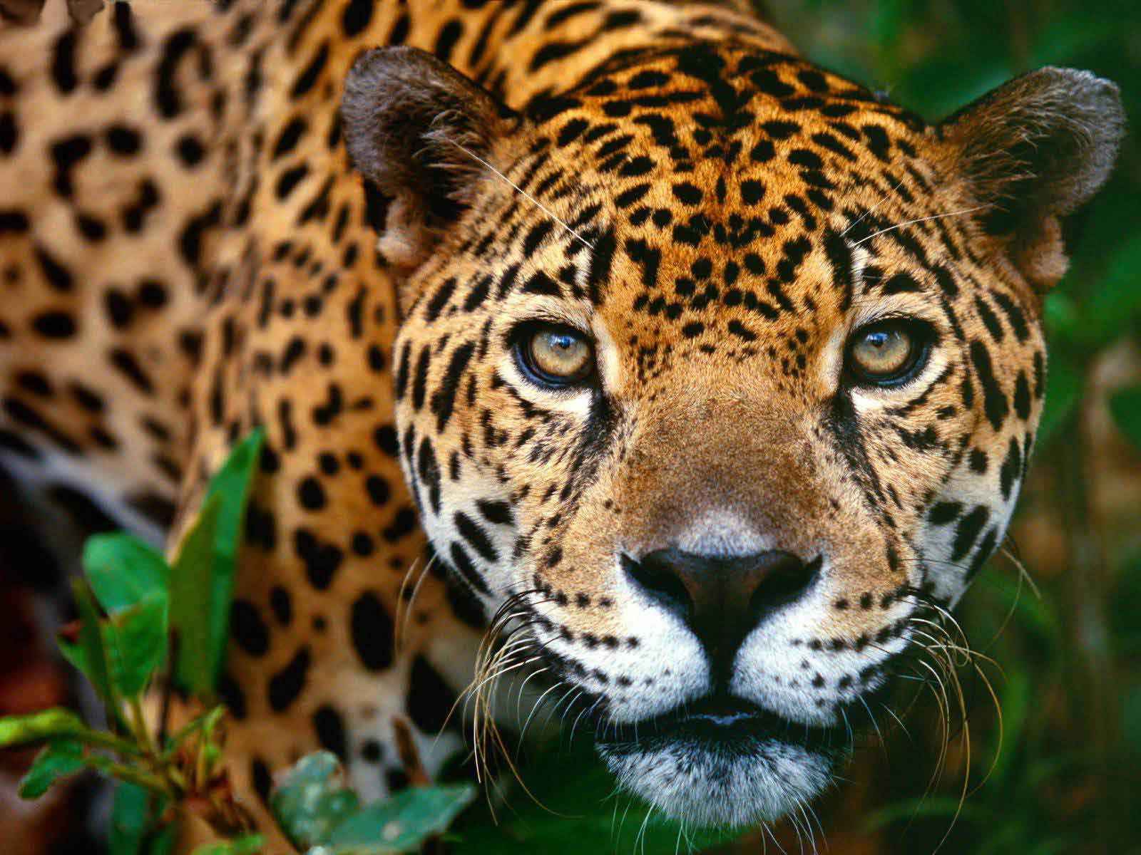 beauty of animals the beauty of the jaguar the jaguar panthera onca is ...