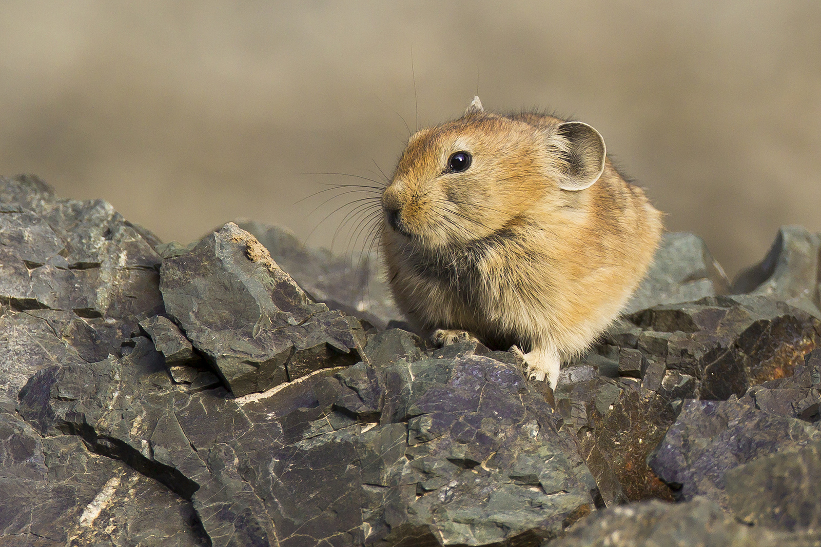 Adult Pallas's Pika , Yolyn Am.