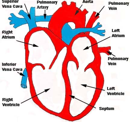 diagram of the heart with labels