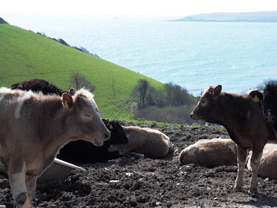 Cattle with views of the Cornish coast