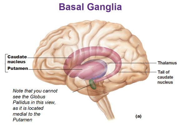 Bio Geo Nerd Brain Anatomy And Functions