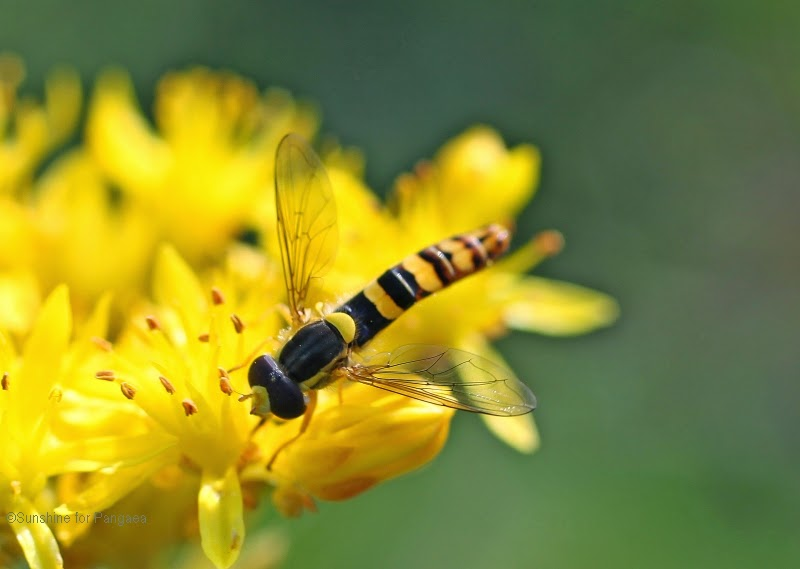 Long Hoverfly - Sphaerophoria scripta - on a yellow flower