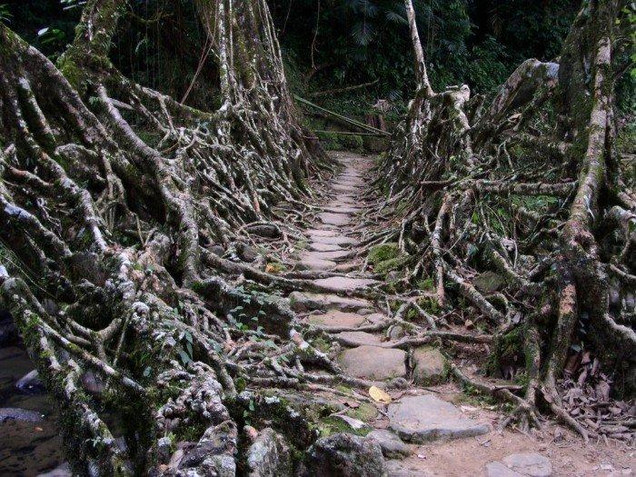 Des ponts en racines d 39 arbre vivant g n ral kulture - Arbre sans racine envahissante ...