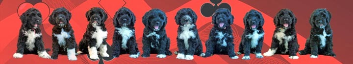 Blue Run Portuguese Water Dogs