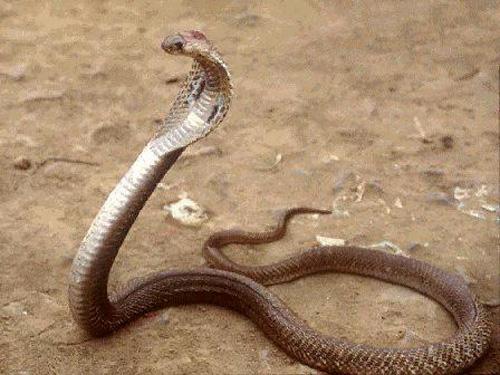 how to detect snake venom