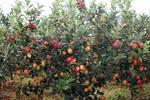 Tehnik budidaya pohon Apel