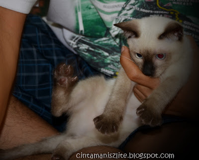 Cintamanisz Lite Aksi Shin Kucing Siam Fadel