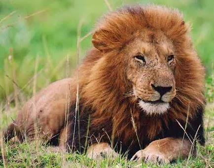Pengetahuan Singa