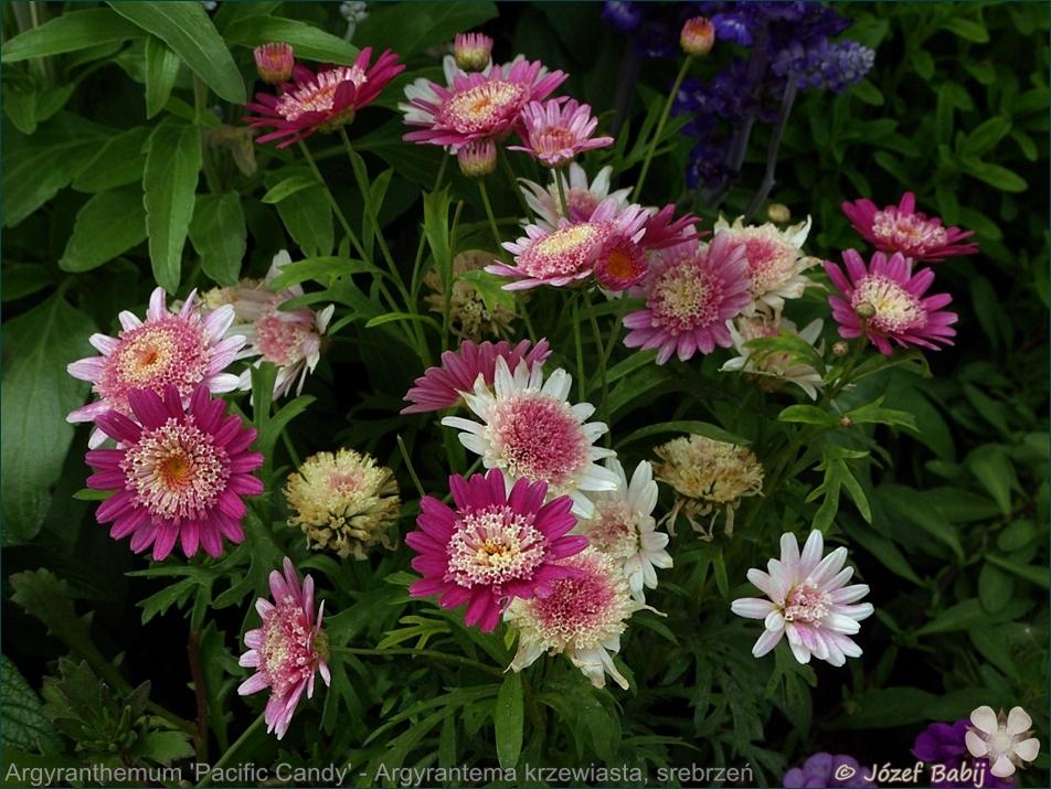 Argyranthemum 'Pacific Candy' - Argyrantema krzewiasta, srebrzeń